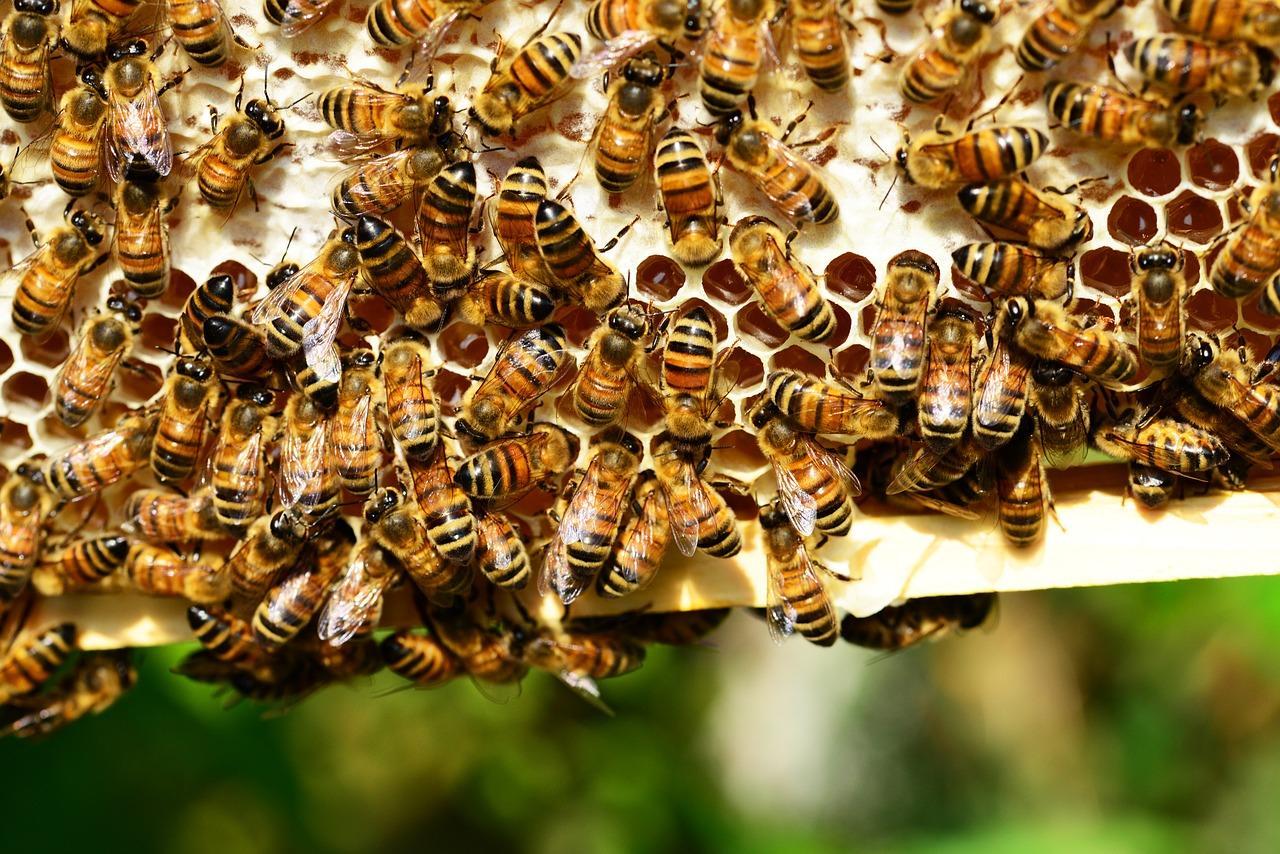 Пчелы делают настоящий мед в сотах