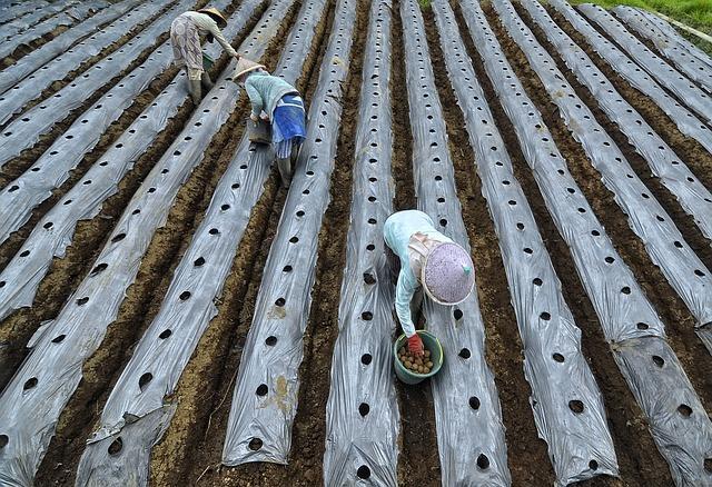 Посадка картошки руками