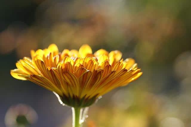 Фото красивого цветка календулы