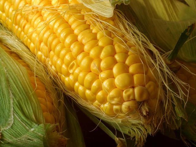 Фото спелого початка кукурузы