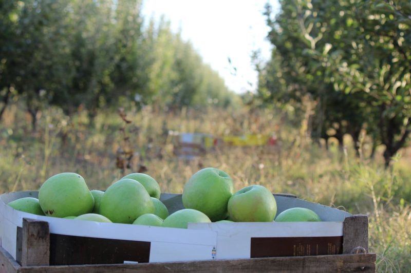 Яблоки квашеные и моченые в банках