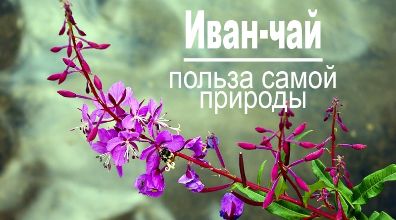 Иван-чай в лесу