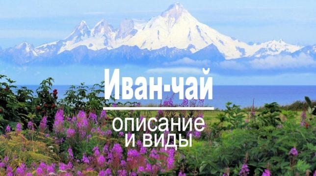 Описание и виды растения Иван-чай