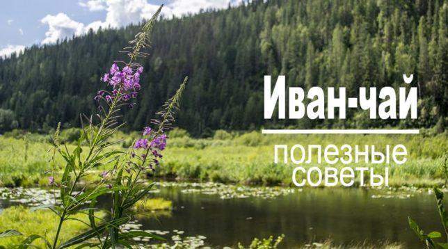 Иван-чай на берегу озера Полезная информация и советы