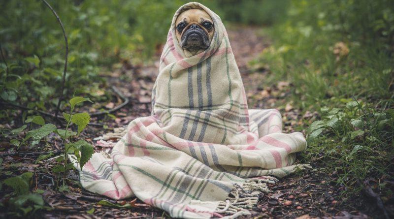 Мопс, укутанный в одеяло