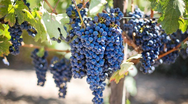 Виноград - основа для чачи в домашних условиях