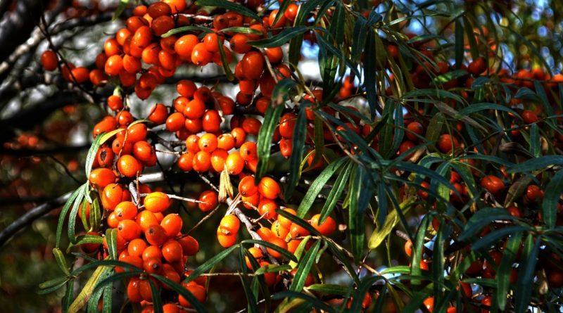 Фото дерева и ягод облепихи