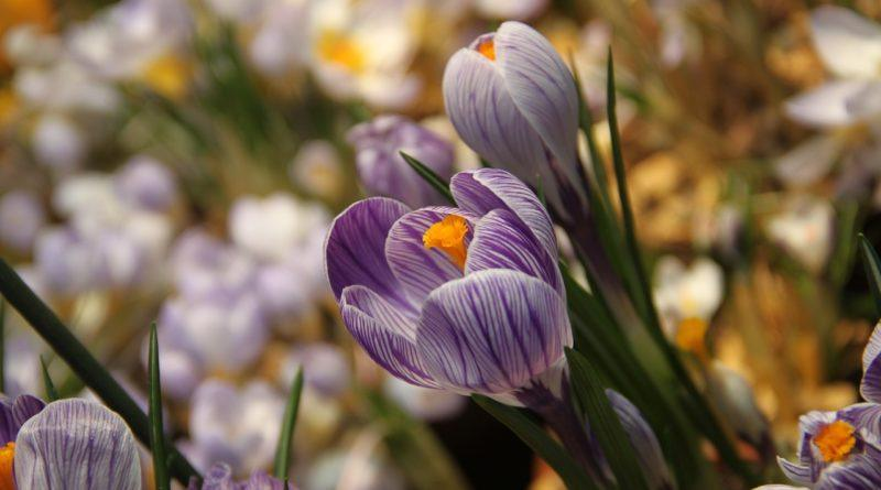 Тюльпаны - символ 8 марта