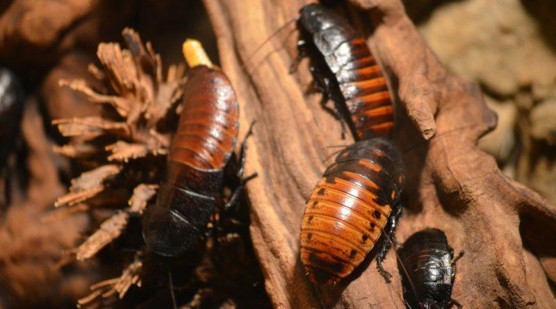 Фото больших американских тараканов