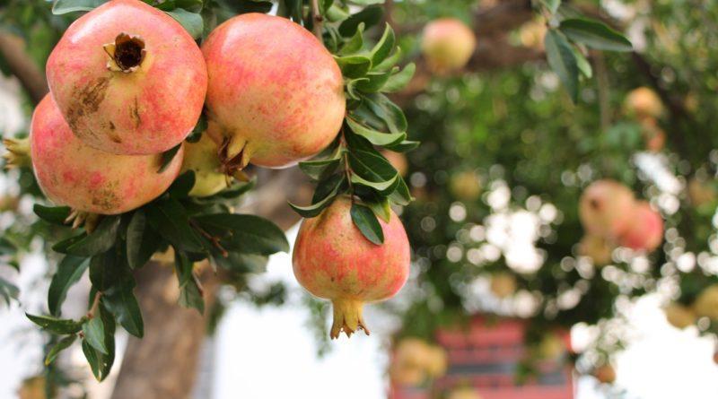 Дерево граната с плодами