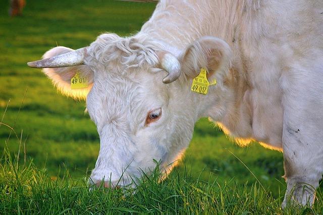 Фермерская корова
