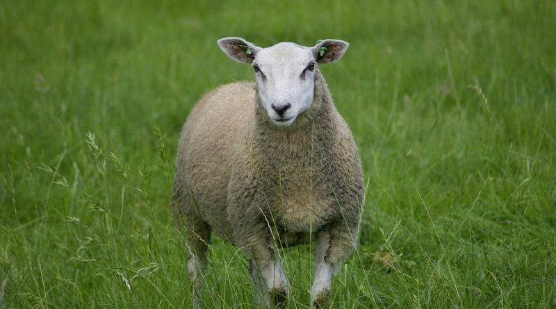 Фермерская овечка