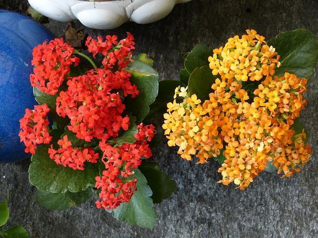 Желтые и красные цветы каланхоэ