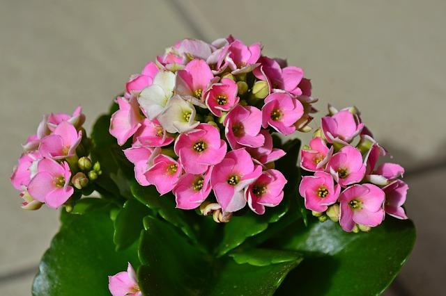 Розовые цветочки на каланхоэ