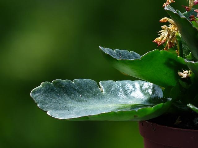 Крупные листы каланхоэ