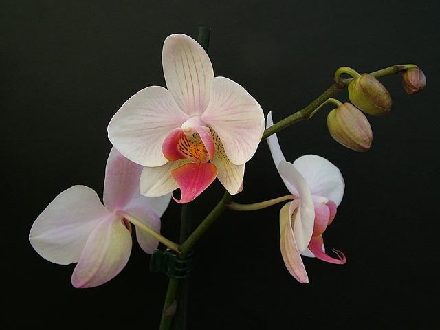 Белые соцветия у фаленопсиса