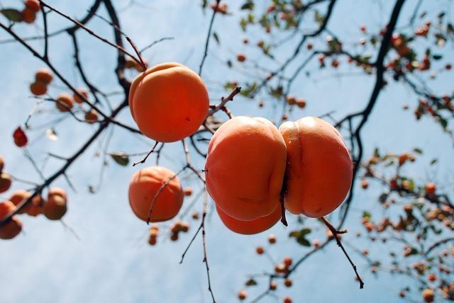 Спелые ягоды хурмы на дереве