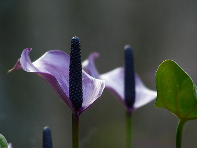 Фиолетовое соцветие спатифиллума