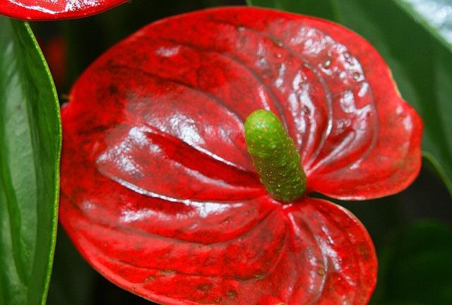 Пятна на соцветии антуриума