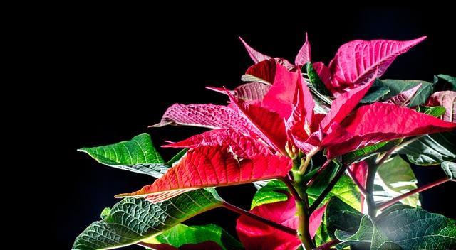 Цветущая пуансетия