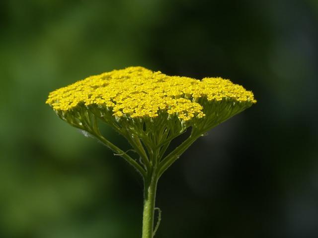 Желтый тысячелистник