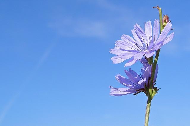 Красивый цветок цикория