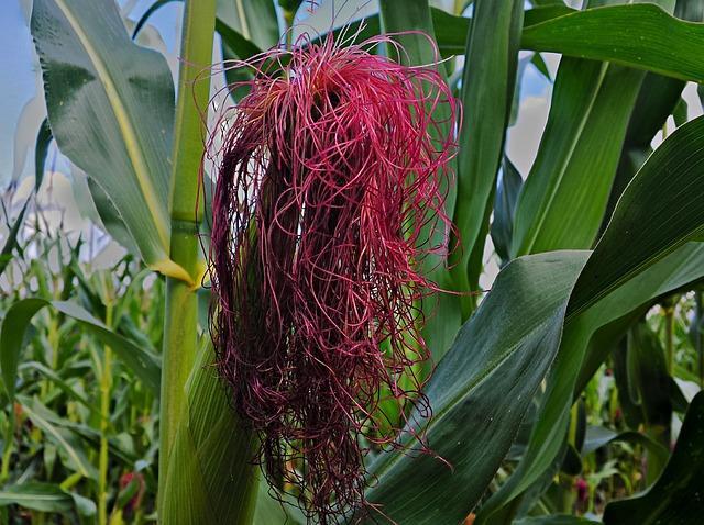 Фото кукурузных рылец