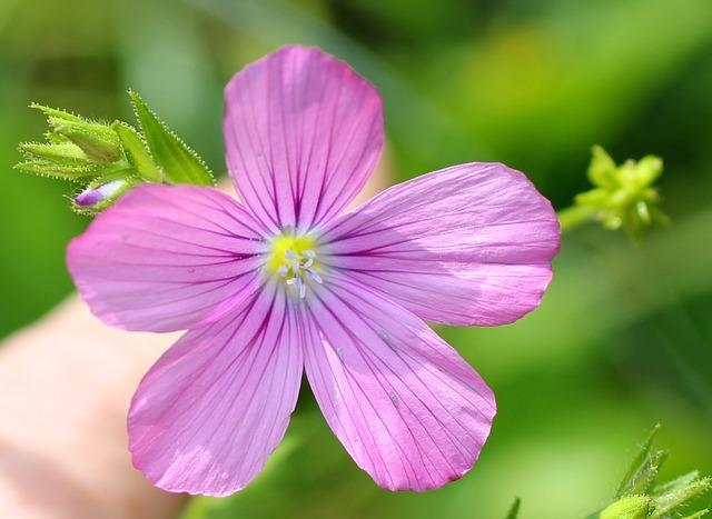 Фото цветка льна