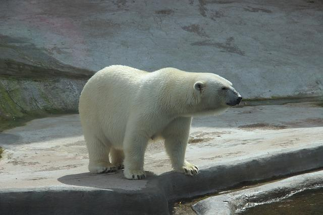 Фото белого медведя в зоопарке