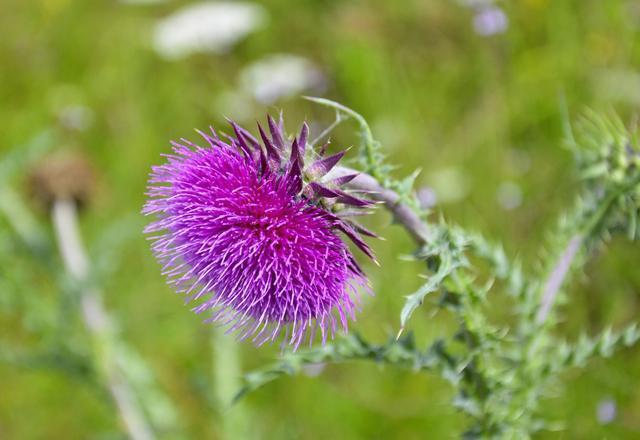 Фиолетовый цветок расторопши