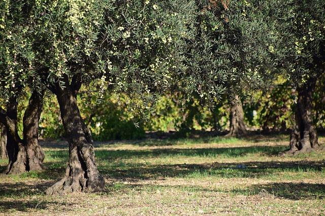 Оливковая плантация