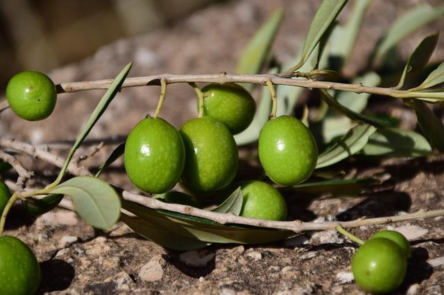 Ветка оливок