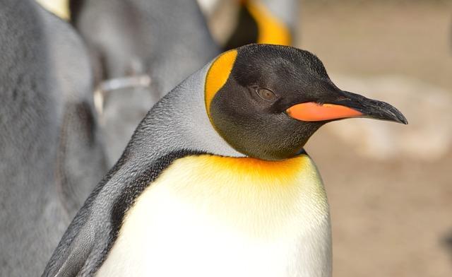 Фото пингвина крупным планом