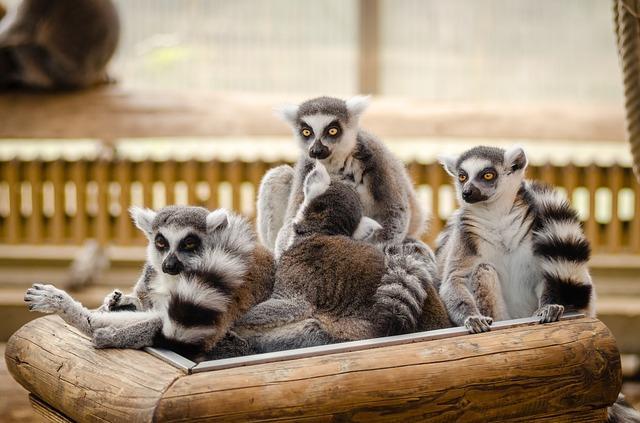Семья лемуров в зоопарке