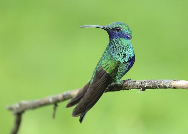 Красивое фото самца колибри