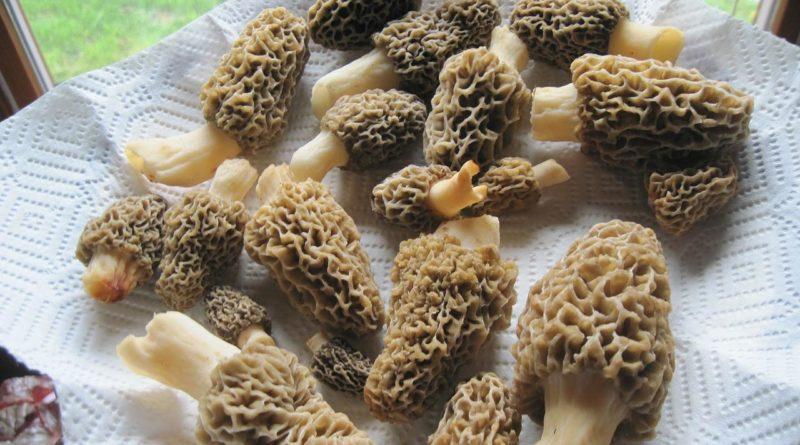 Как приготовить грибы строчки и сморчки