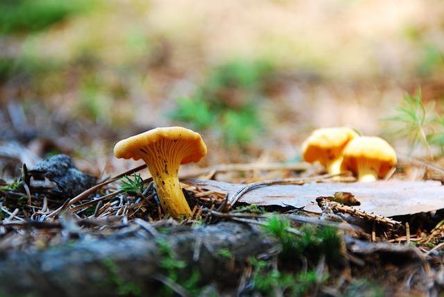 Фото гриба лисичка в лесу