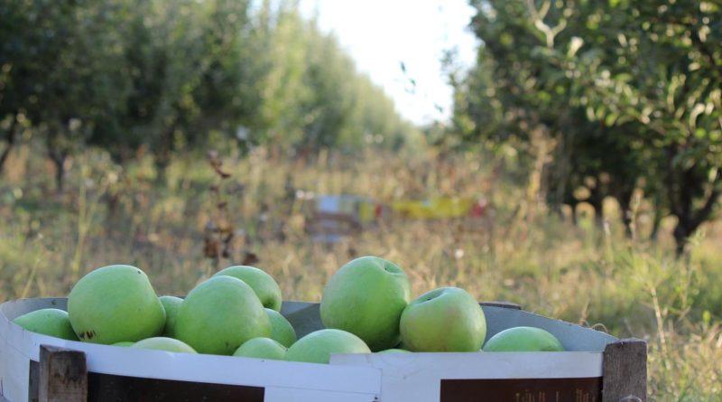 Как квасить яблоки в домашних условиях