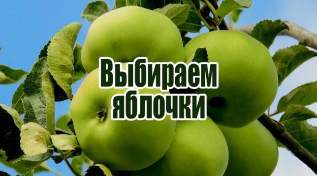 Зеленые яблоки на ветке